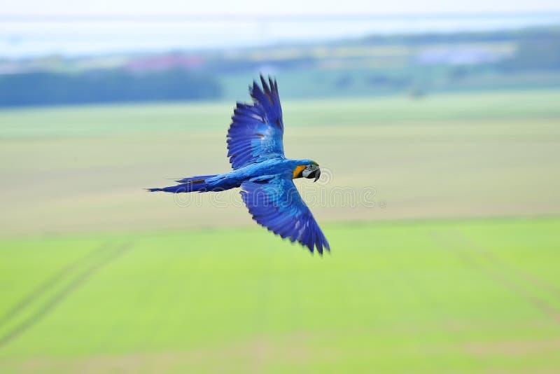 Macaw azul-y-amarillo que vuela - ararauna del Ara sobre campos imagen de archivo libre de regalías