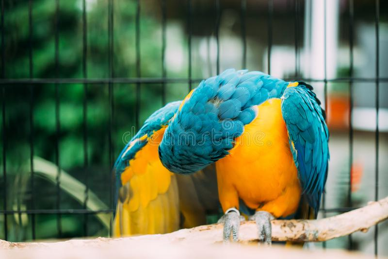 Macaw Azul-y-amarillo también conocido como el Macaw del Azul-y-oro en parque zoológico imagen de archivo