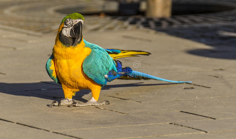 Macaw bird. Colorful blue parrot macaw in a street royalty free stock image