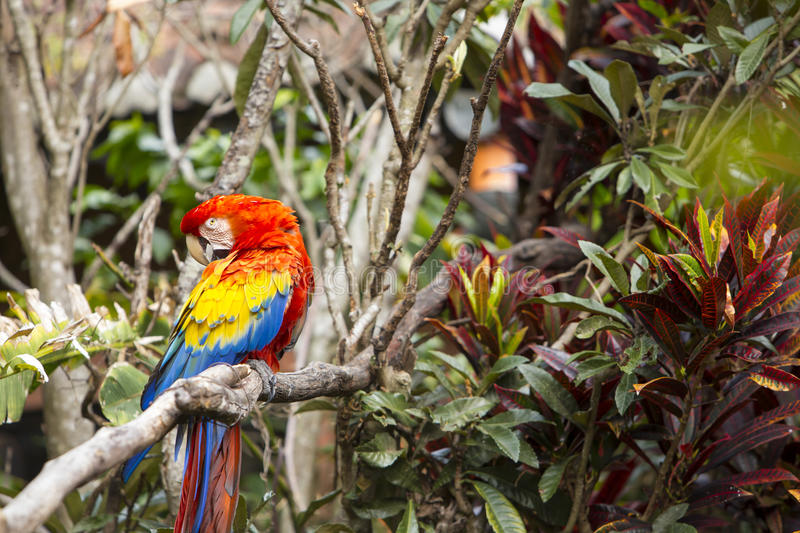 Macaw bird in the jungle preening while sitting in a tree. Macaw bird in a jungle preening while sitting in a tree stock images