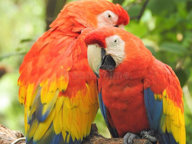 Macaw, Bird, Parrot, Beak royalty free stock image