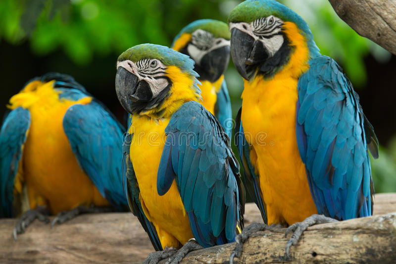 Macaw bird. Sitting on the tree stock photography