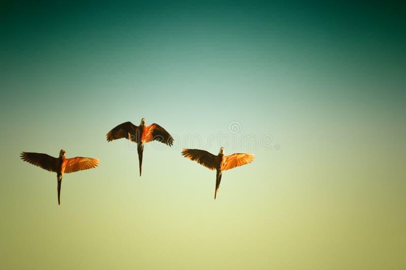 Macaw birds royalty free stock image