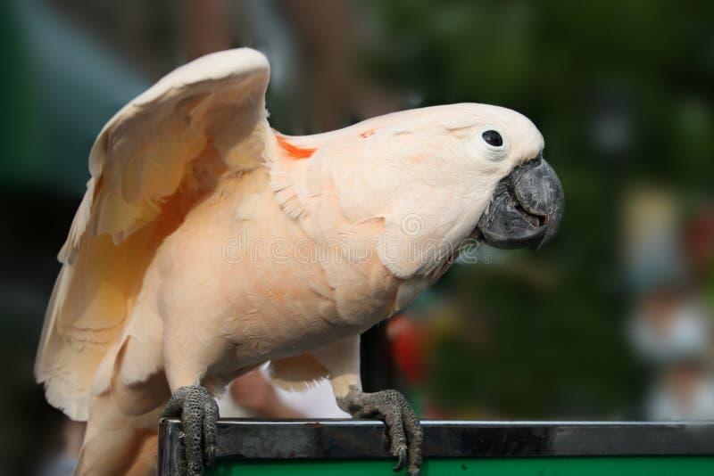 Macaw blanc images libres de droits