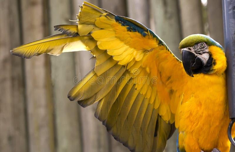 Macaw bleu d'or étirant l'aile jaune photos stock
