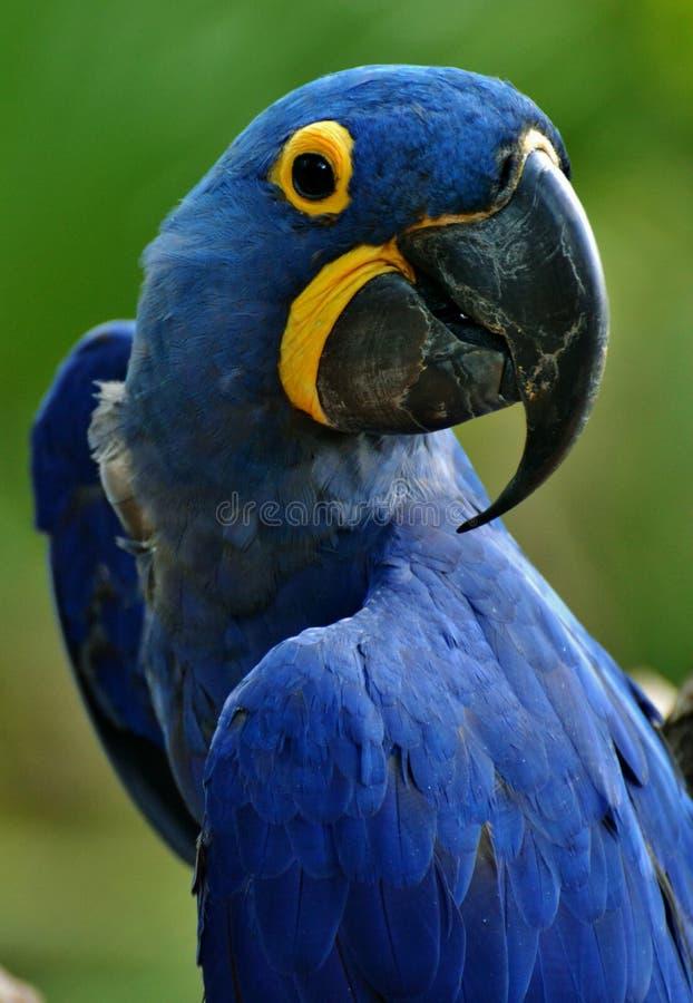 Macaw bleu de jacinthe photos stock