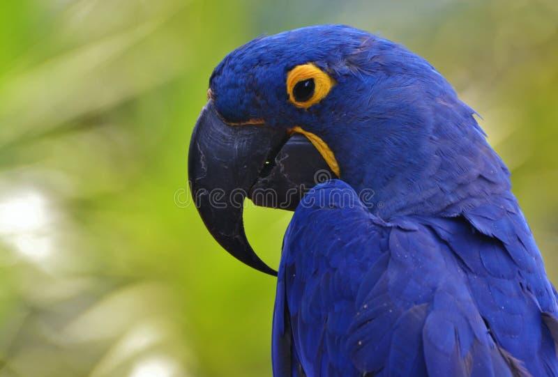 Macaw bleu de jacinthe image libre de droits
