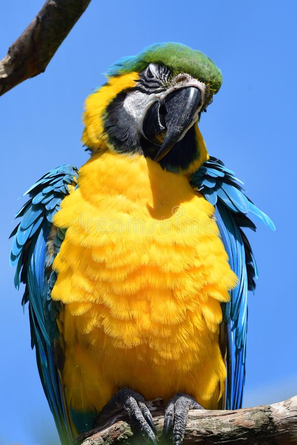 Macaw bleu et jaune photo stock