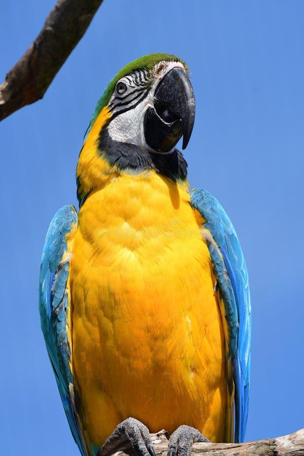 Macaw bleu et jaune photo libre de droits