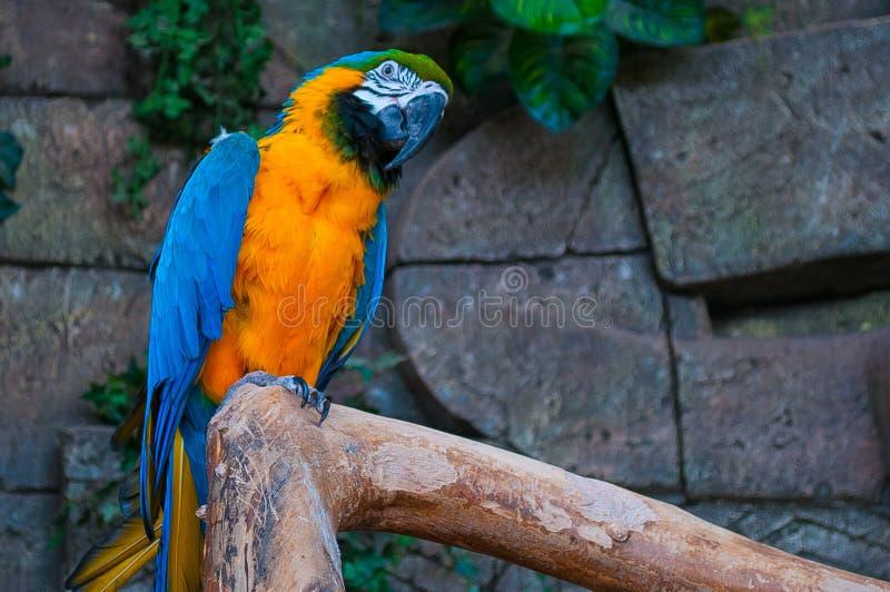 Macaw Bleu-et-jaune Beau perroquet d'aras sur la branche d'arbre sur le fond de jungle image stock