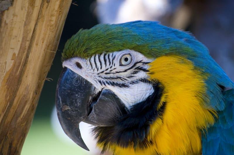 Macaw blu e giallo fotografia stock