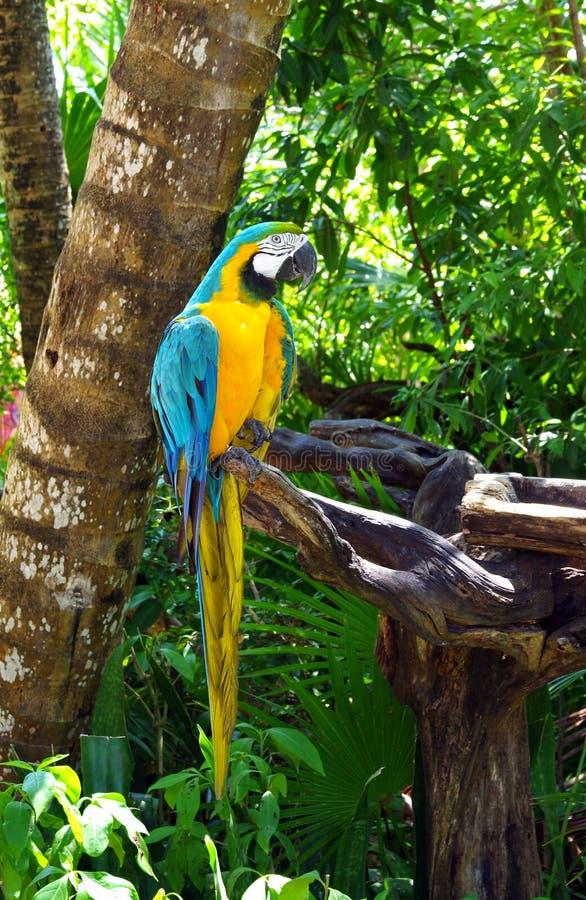 Macaw blu e giallo fotografie stock libere da diritti