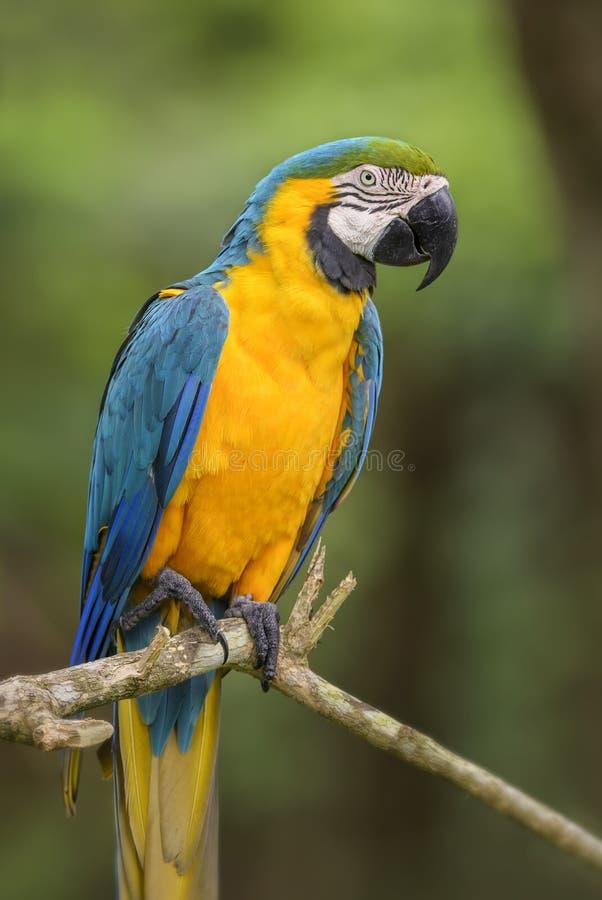 Macaw Blu-e-giallo - ararauna del Ara immagini stock libere da diritti