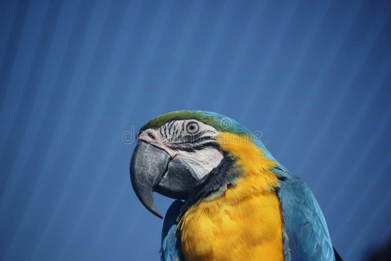 Macaw Blu-e-giallo (ararauna del Ara) immagine stock