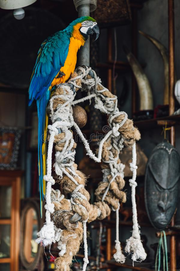 Macaw blue-and-yellow parrot, long-tailed colorful exotic bird standing on tree with ropes in Yuchi Township, Nantou County. stock photos