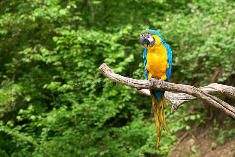 Macaw on the branch. In zoo royalty free stock images