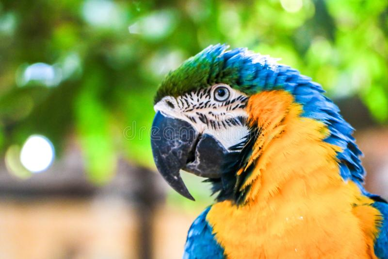 Macaw brasileiro foto de stock royalty free