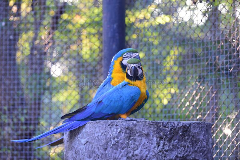 Macaw in the cage. royalty free stock photography