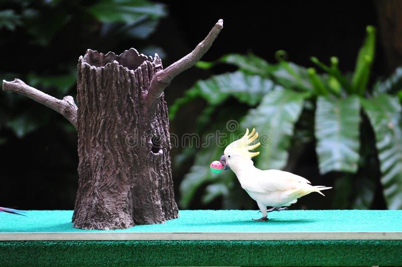 Macaw che prova a notare un obiettivo fotografia stock