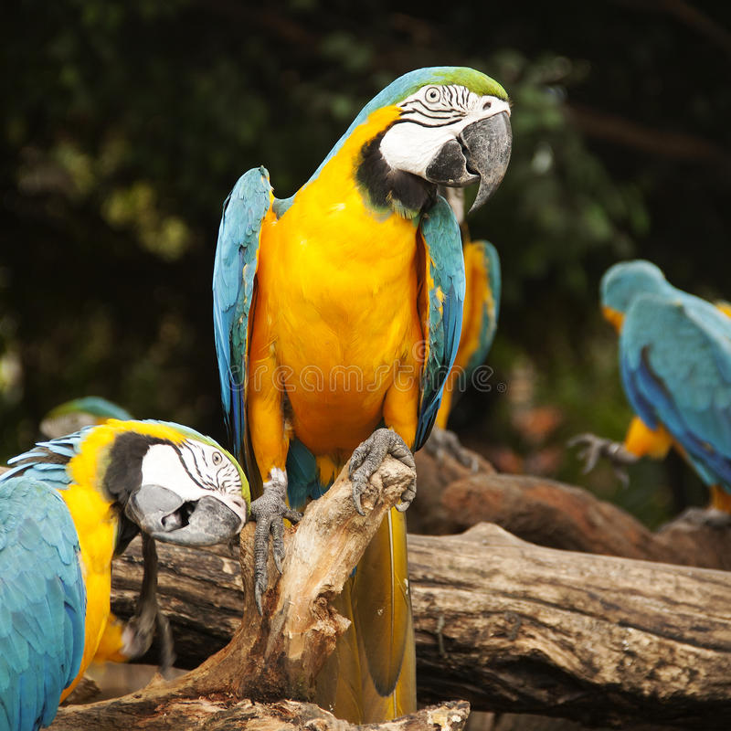 Macaw. Closed Up Macaw on the tree royalty free stock photos