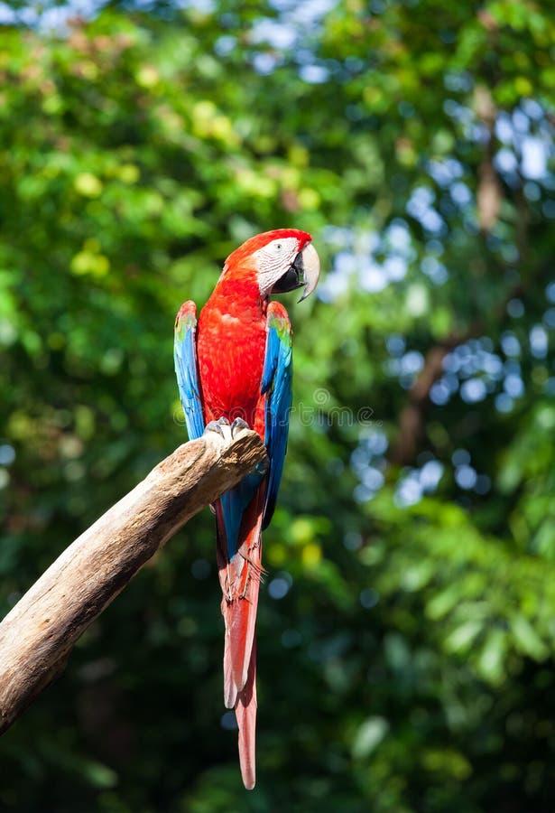 Download Macaw coloré image stock. Image du normal, perroquet - 45365463