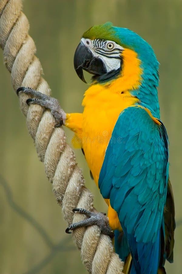 Macaw colorido en una cuerda fotos de archivo libres de regalías