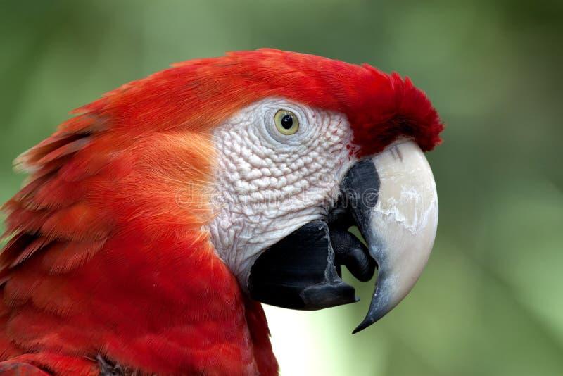 Macaw cramoisi dans le profil photo libre de droits