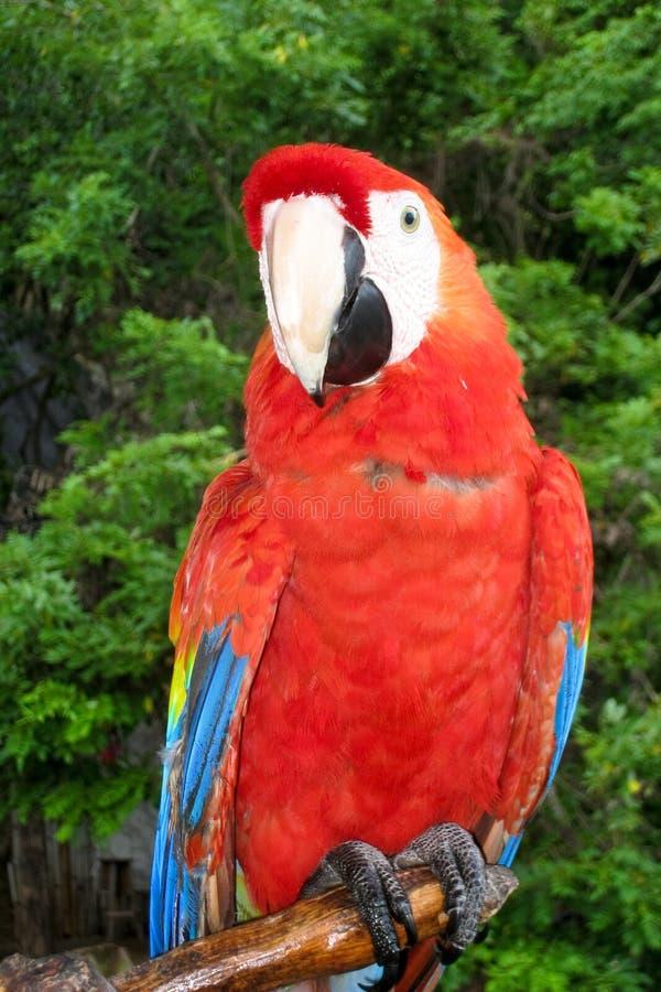 Macaw d'écarlate été perché images libres de droits