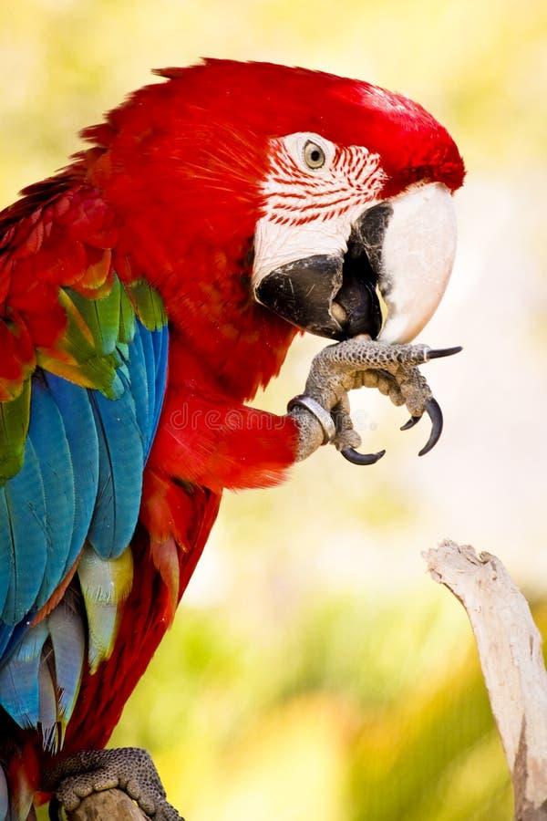 Macaw d'écarlate images libres de droits