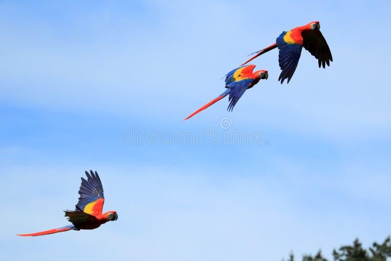 Macaw d'écarlate photo stock