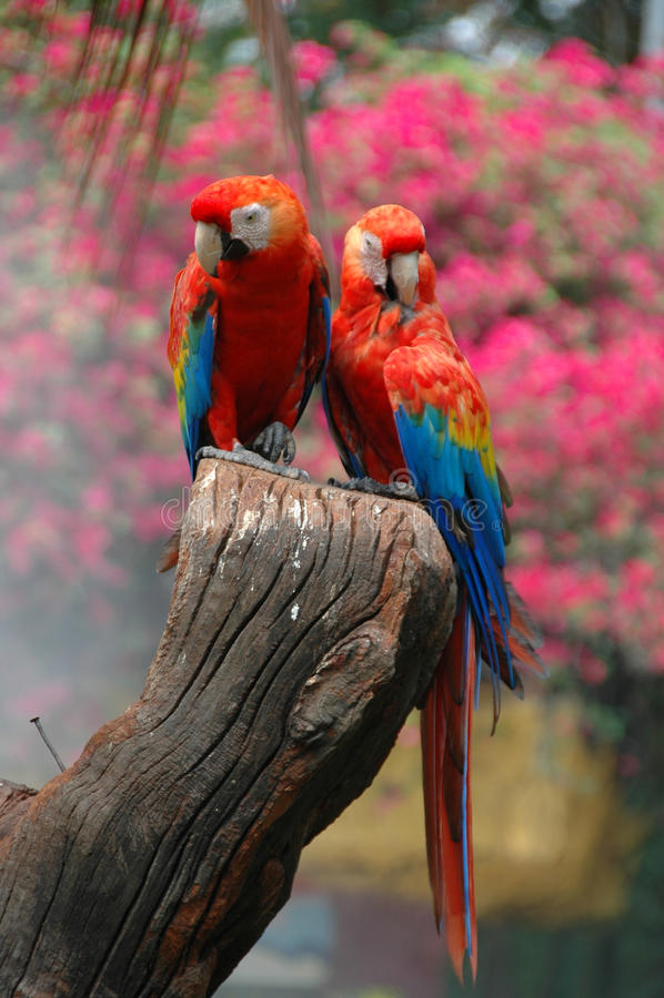 Macaw d'écarlate (Ara Macao) photos libres de droits
