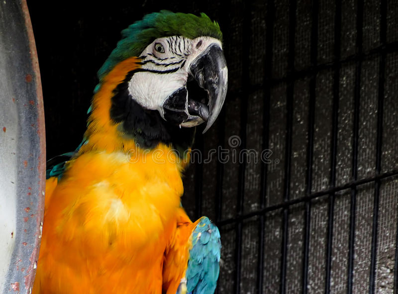 Macaw on Dark Background. Macaw in an aviary, over a dark background royalty free stock photography