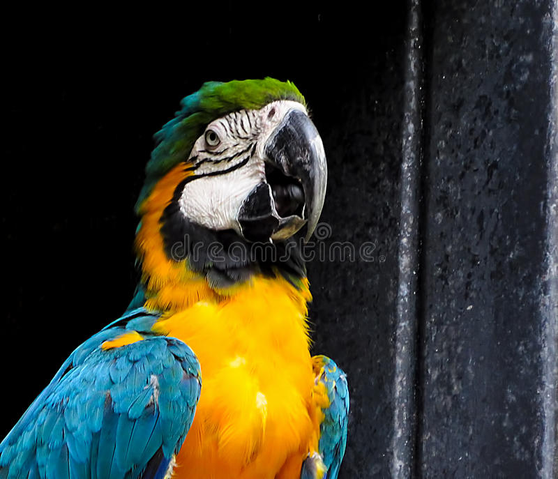 Macaw on Dark Background. Macaw in an aviary, over a dark background royalty free stock image