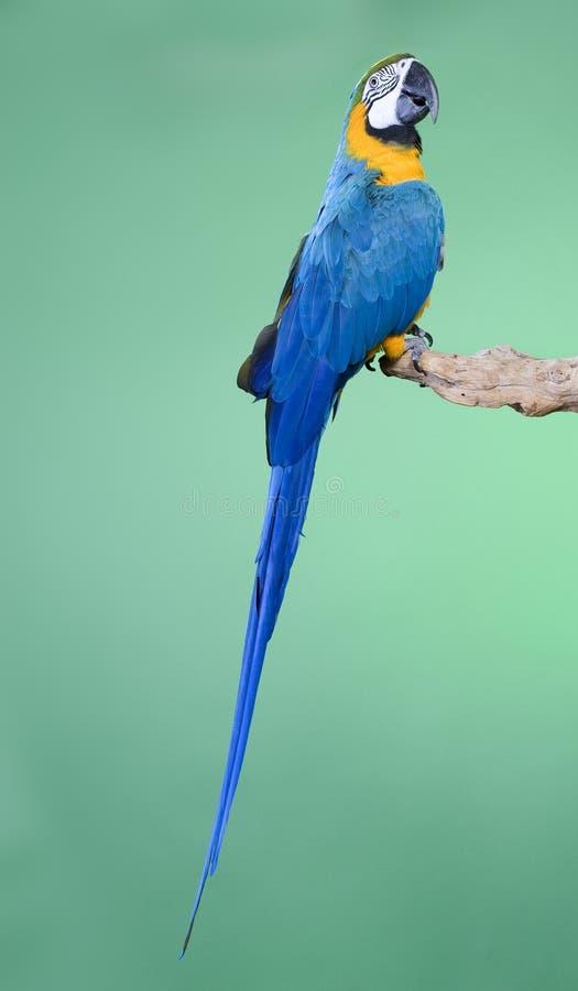 Macaw de bleu et d'or images stock