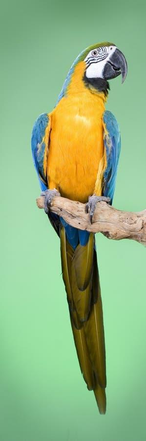 Macaw de bleu et d'or photo stock