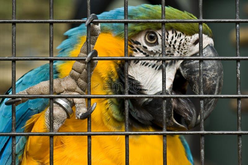 Macaw de bleu et d'or photographie stock