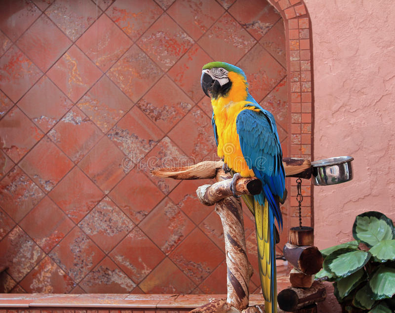 Macaw de bleu et d'or (ararauna d'Ara) photographie stock libre de droits