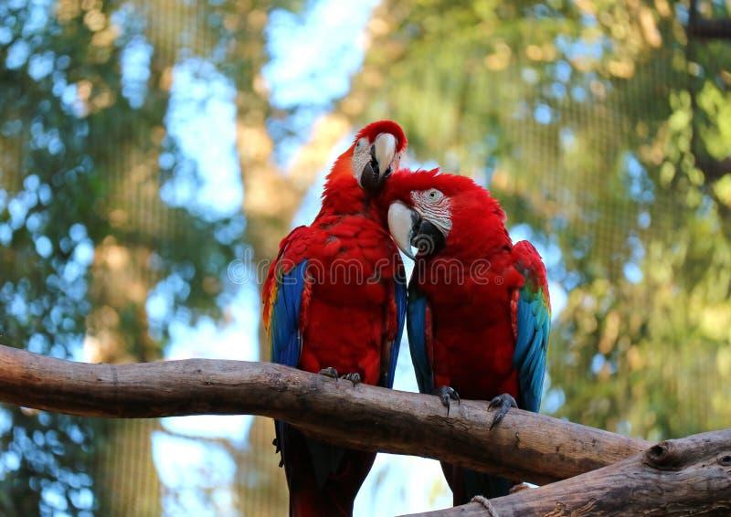 Macaw de dos escarlatas que se encarama junto y que se atusa sus pares en el árbol, el Brasil imagen de archivo