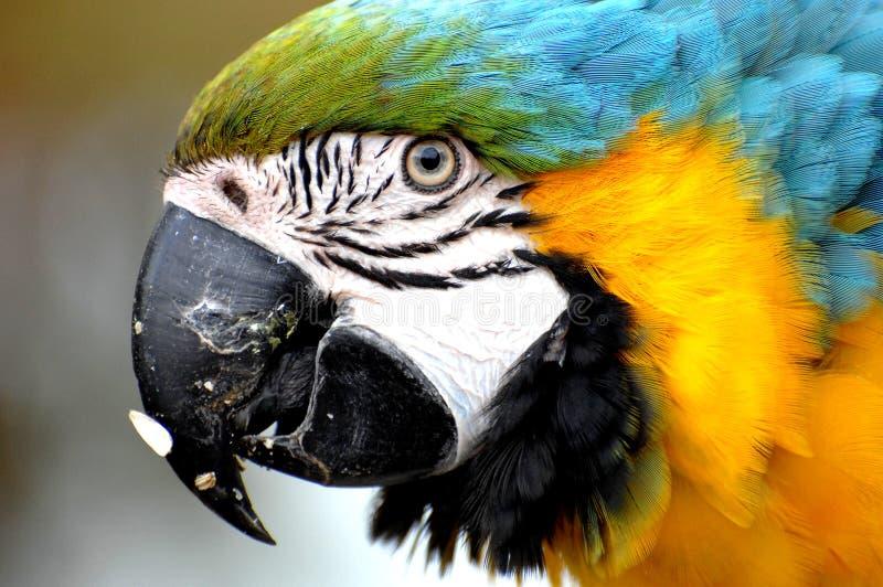 Macaw de harlequin photographie stock libre de droits