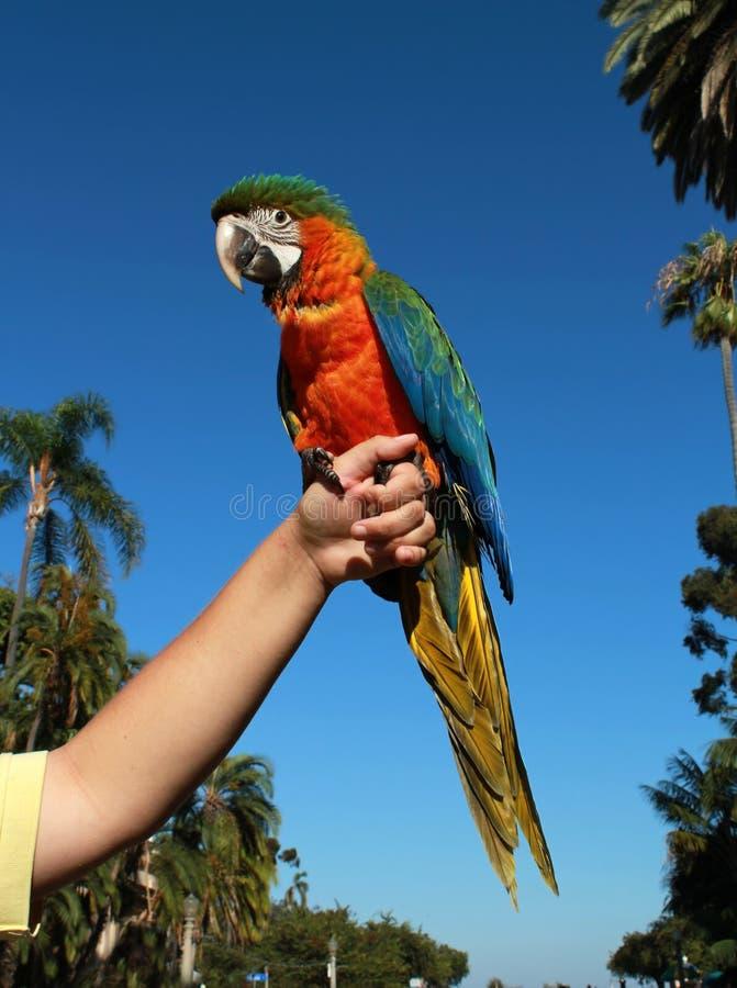 Macaw de harlequin photo stock