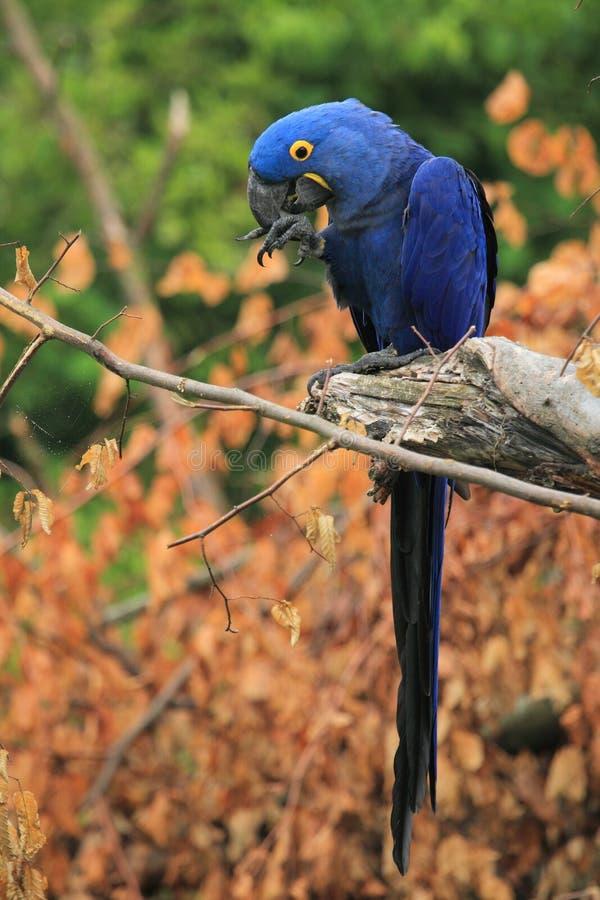 Macaw de Hyacinthine photos stock