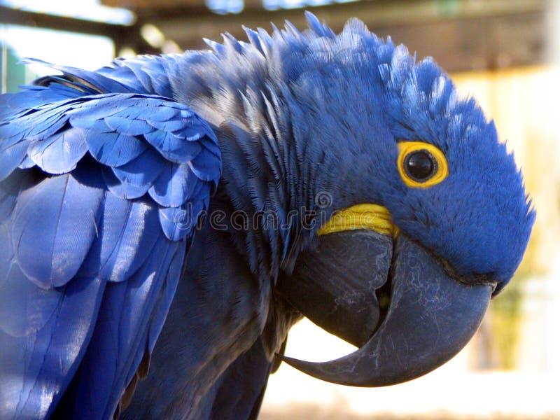 Macaw de jacinthe images stock