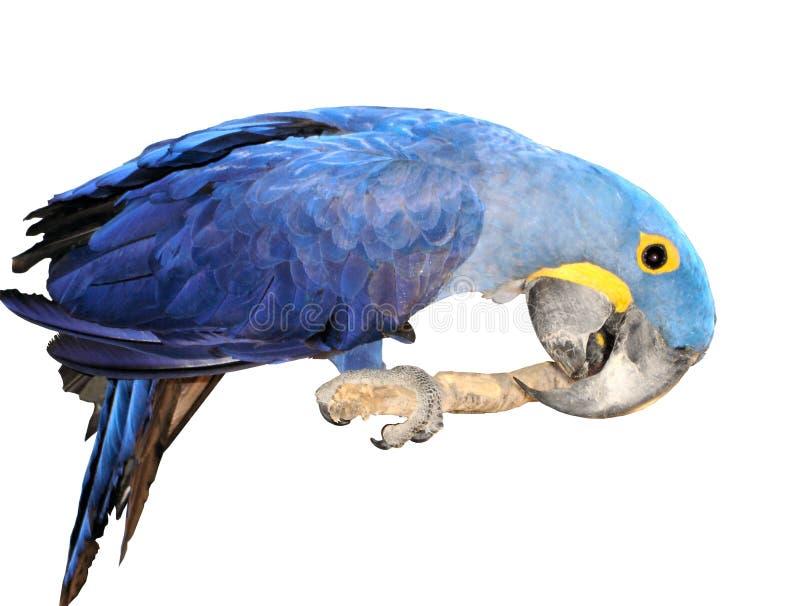 Macaw de jacinthe. photographie stock libre de droits