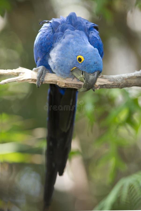 Macaw de jacinthe jouant dans l'arbre, pantanal, Brésil image stock
