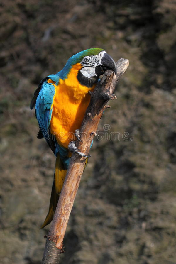 Macaw del azul y del oro fotografía de archivo libre de regalías