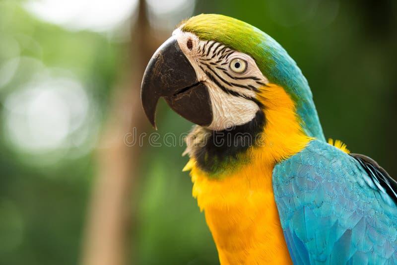 Macaw del Azul-y-oro en el ajuste natural foto de archivo libre de regalías