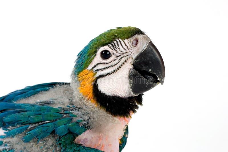 Macaw del bebé foto de archivo