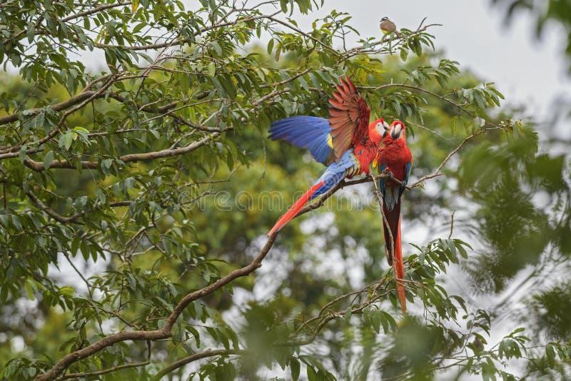 Macaw del escarlata - Ara Macao fotografía de archivo libre de regalías