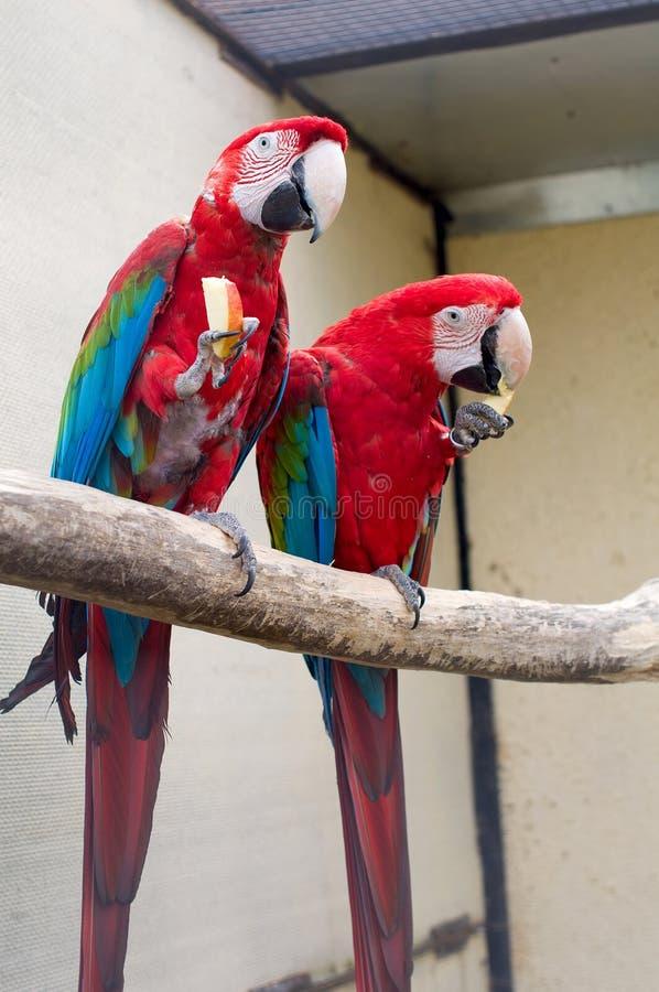 Macaw del escarlata. Ara Macao imagenes de archivo