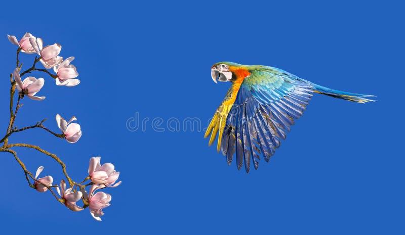 Macaw del escarlata en el árbol de la magnolia del hábitat de la naturaleza en el backgro fotografía de archivo